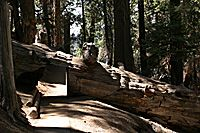 Tunnel through a fallen Sequoia, Sequoia National Park