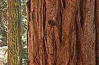 Thick and Thin, Sequoias, Sequoia National Park