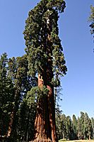 Ed and Ned, Twin Sequoias, Big Trees Trail, Sequoia National Park