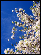 Cherry Blossoms in the Spring, Sunnyvale, California