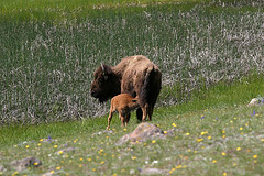 Bison with suckling calf, Yellowstone National Park