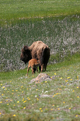 Bison with sucking calf, Yellowstone National Park