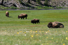 Bisons in meadow, Yellowstone National Park