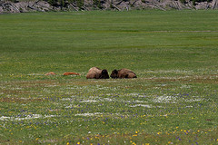 Bison tete-a-tete, Yellowstone National Park