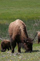 Grazing Bison, Yellowstone National Park