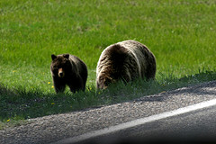 Grizzly Bears,Yellowstone National Park