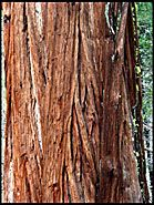 Tree bark, Yosemite National Park