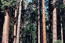 Tree thicket, Yosemite National Park