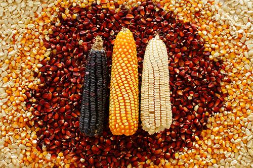 Reducir el cultivo de maíz blanco es un plan perverso: San Vicente