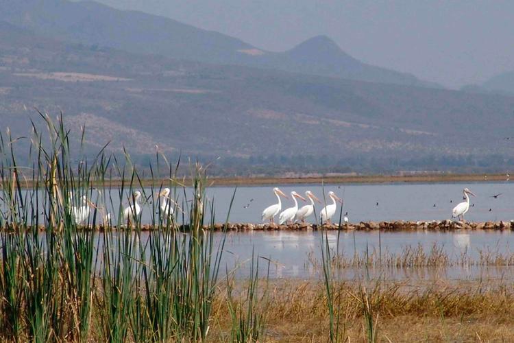Microclima. Las aves encuentran variedad de ambientes en la Laguna de Sayula. (Fotos: Cortesía)
