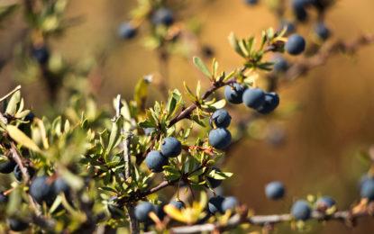 El calafate: fruto nativo chileno con prometedores efectos sobre la bioenergética del tejido adiposo