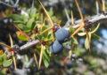 Calafate: un alimento funcional de alto valor patrimonial