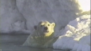 Link to: Nanuit miksaanut - regarding polar bears