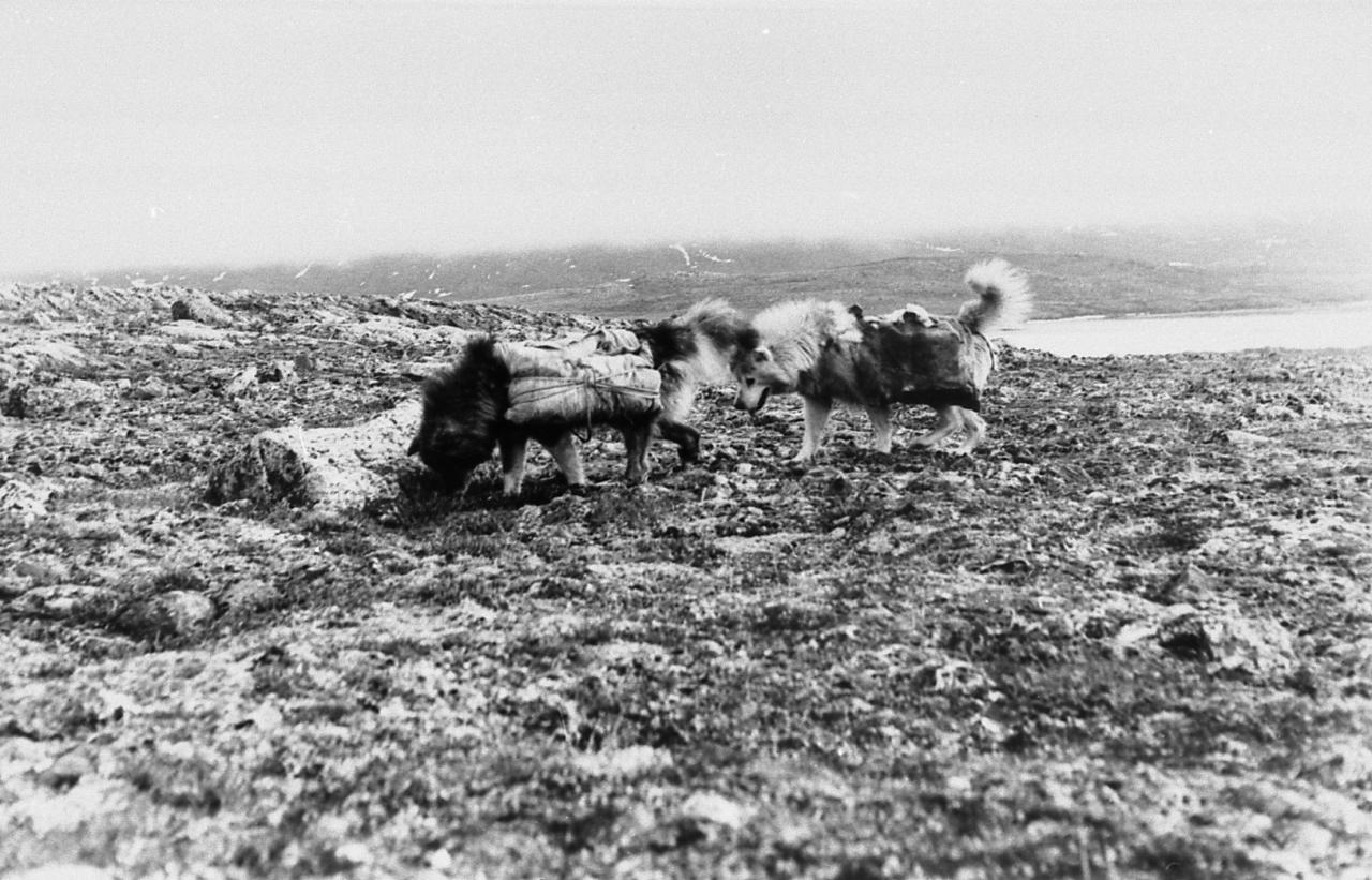 Black and white photo of two saddled dogs walking on the land. In the distance, we see what appears to be a stretch of water.