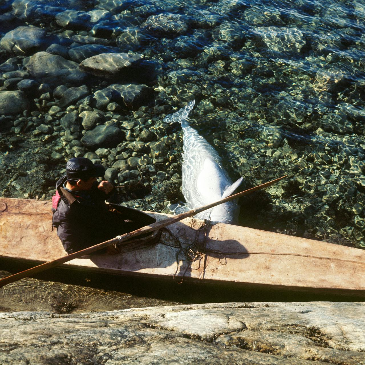 Colour photo which shows a man in a qajaq on the water. The qajaq is moored, and near it is the carcass of a beluga.