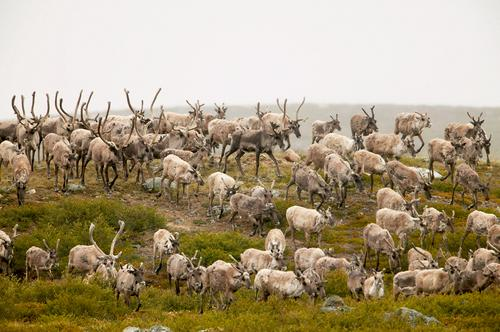 CBC - Baker Lake hunters worry mine will disturb caribou