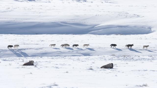 ᐊᒪᕈᑦ - Arctic Wolves