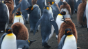 Link to: Penguins Harmed By Tagging