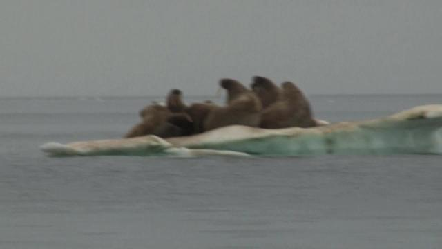 10. Walrus Hunting