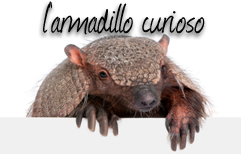 Italian Lesson - The Curious Armadillo