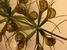 Aldrovanda vesiculosa (Waterwheel)