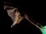 Anoura fistulata (Tube-lipped Nectar Bat)