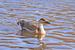 Anser cygnoid (Swan Goose)