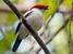 Antilophia bokermanni (Araripe Manakin)