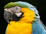 Ara ararauna (Blue-and-yellow Macaw)
