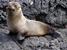 Arctocephalus galapagoensis (Galápagos Fur Seal)