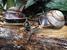 Bertia cambojiensis, (Vietnamese Giant Snail)