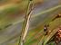 Betiscoides meridionalis (Slender Restio Grasshopper)