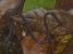 Boulengerula niedeni (Sagalla Caecilian)