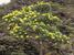 Brachyglottis huntii (Chatham Island Christmas Tree)