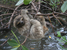 Bradypus pygmaeus (Pygmy Three-toed Sloth)