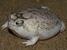 Breviceps macrops (Desert Rain Frog)