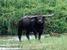 Bubalus arnee (Wild Water Buffalo)