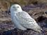 Bubo scandiaca (Snowy Owl)