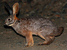 Bunolagus monticularis (Riverine Rabbit)