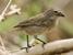 Camarhynchus heliobates (Mangrove Finch)