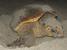 Caretta caretta (Loggerhead)