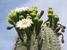 Carnegiea gigantea (Saguaro)