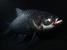 Catlocarpio siamensis (Giant Barb)