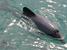 Cephalorhynchus hectori (Hector's Dolphin)