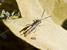 Chorthippus bozdaghi (Bozdağ Grasshopper)