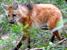 Chrysocyon brachyurus (Maned Wolf)