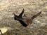 Coleura seychellensis (Seychelles Sheath-tailed Bat)