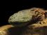 Cryptobranchus alleganiensis (Hellbender)