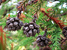 Cryptomeria japonica (Japanese Cedar)
