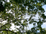 Dalbergia cochinchinensis (Siamese Rosewood)